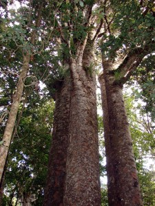 Amazing formations of Kauri trees