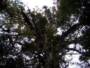 Die back in the very old trees