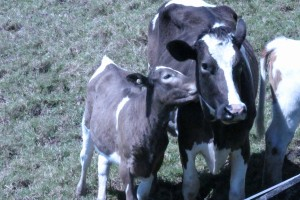 The house cow and calf