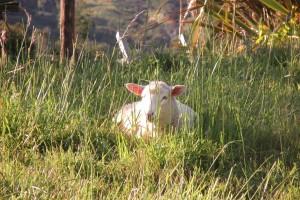 Lamb at rest.