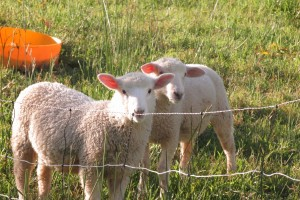Pet lambs