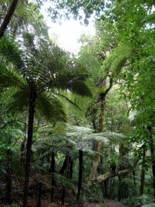 In the mighty Kauri forests
