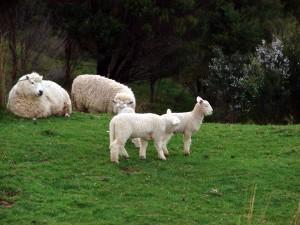 Lambs enjoying themselves