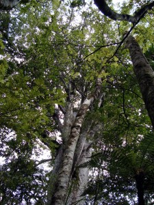 Looking up to the canopy