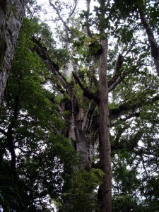 Scenes in the Kauri forest