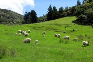 The sheep paddocks