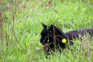 Watch for the mini black panther in the grass